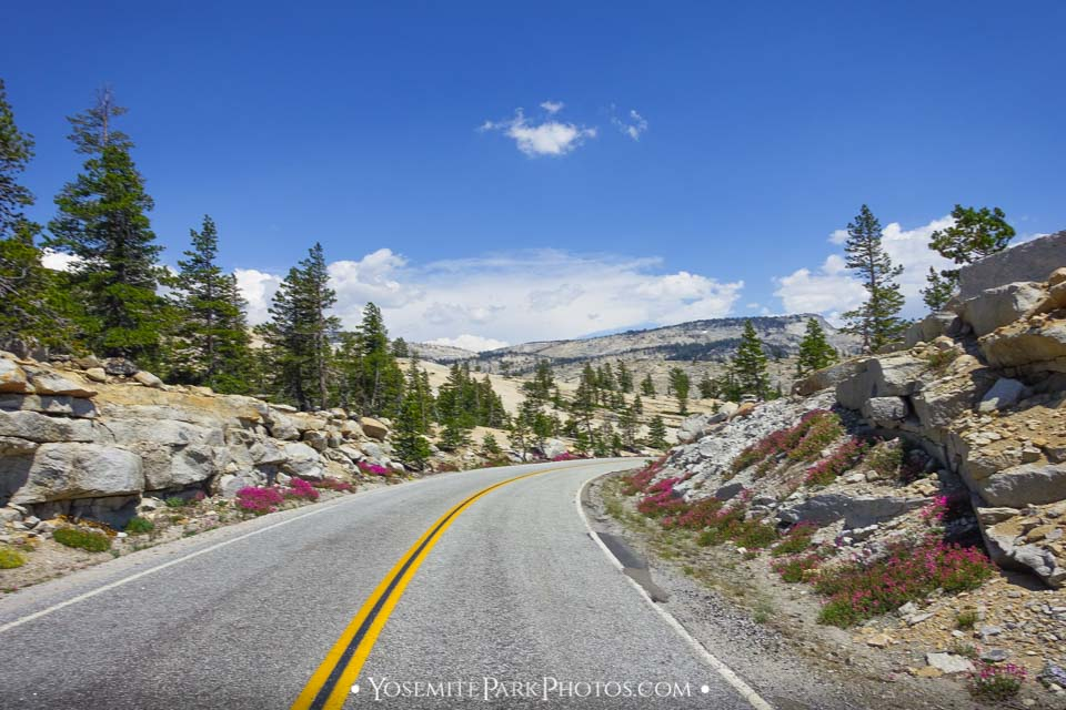 Spring wildflowers near Olmsted Point - Tioga Road Photos