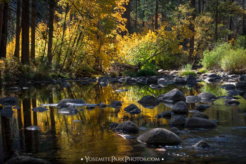 Golden fall colors on Merced River in October my favorite of the Yosemite Seasons