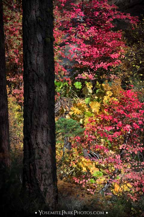 Beautiful creek canyon foliage with reds, yellows, and greens - Autumn in Yosemite