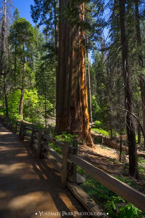 Giant Sequoia Tree along the trail fence - Tuolumne Grove in summer