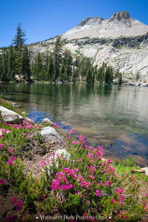 Pink Wildflowers at shore of May Lake, with Mount Hoffman Peak in Distance