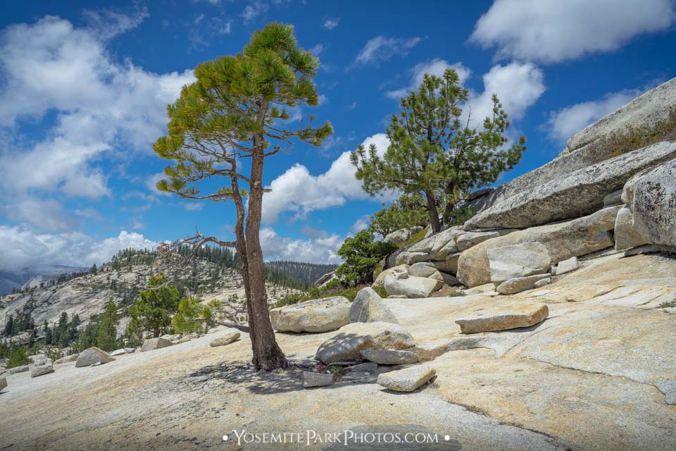 Alpine Pine Trees on Granite Slabs Above Olmsted Point - Tioga Road Photos