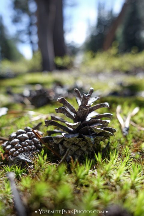 Pinecone macro detail, on forest floor