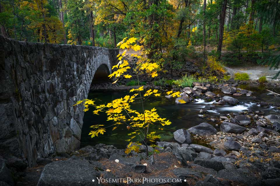 Lone yellow maple tree by pohono bridge - Yosemite National Park in Autumn