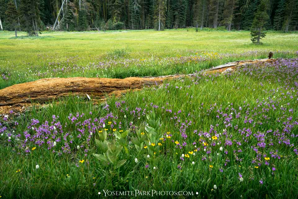Blooming wildflowers and decaying log at Summit Meadow - Summer on Glacier Point Road