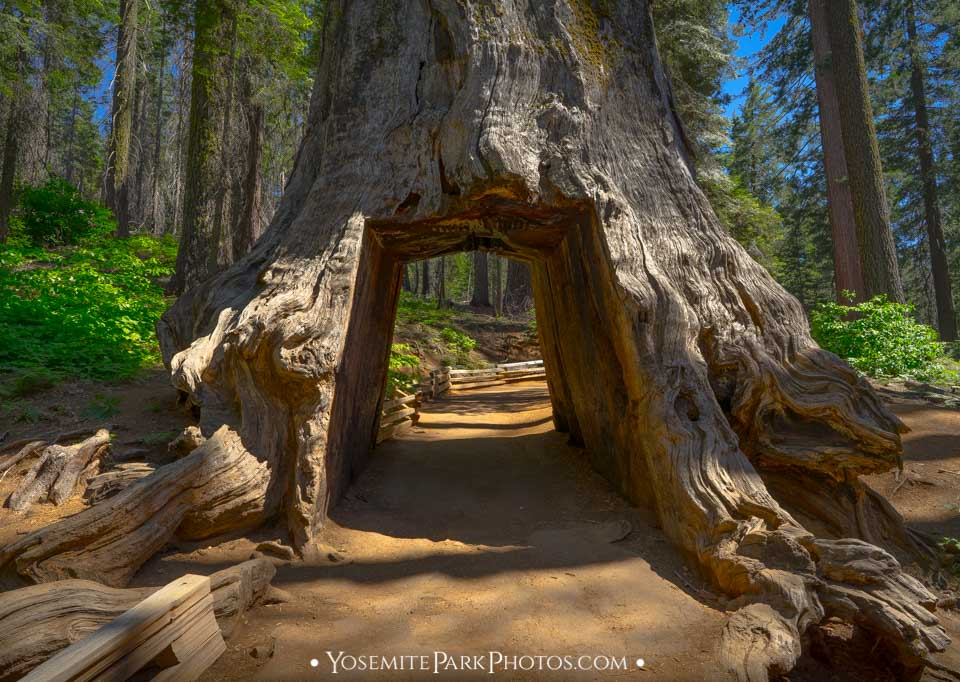 Dead Tunnel Tree along hiking trail at Tuolumne Grove.